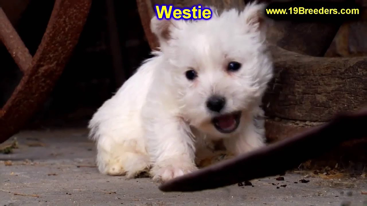 west highland terrier for sale craigslist west highland white terrier westie puppies dogs for 4723