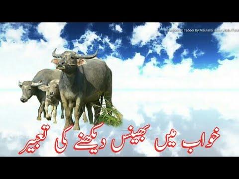 Buffalo Dream Meaning || Khwab Mein Bhains Dekhna Ki Tabeer || Dream  Interpretation Buffalo