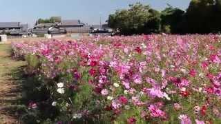2014 10 07 唐古鍵遺跡のコスモス