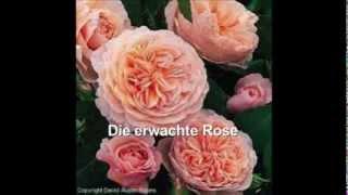 Die erwachte Rose (Strauss); Charlotte Margiono, Peter Nilsson