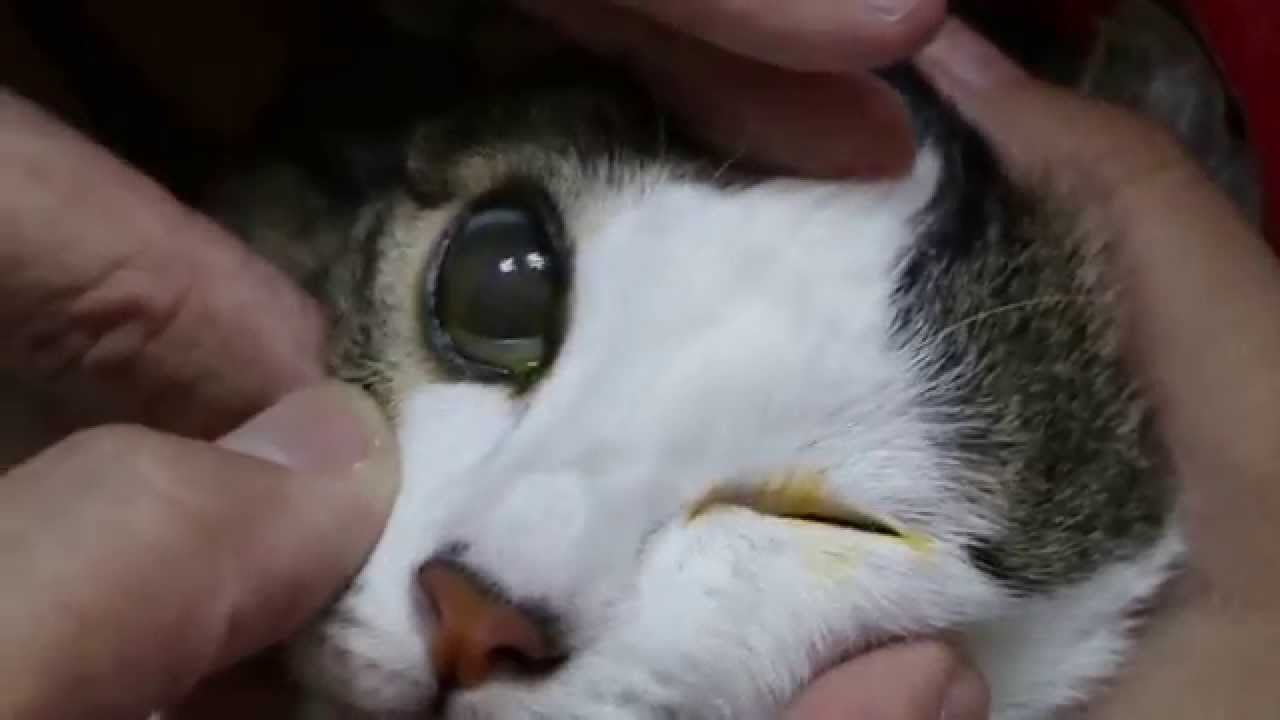 What Causes Cloudy Eyes In Cats Pethelpful