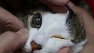 A young female cat has cloudy corneas