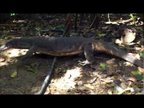 Wild Komodo Dragons at the Underground River Ranger Station, Puerto Princesa, Palawan 122211
