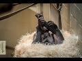 Vijftiende bonobobaby voor Planckendael