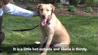 Sheila The Precious Yellow Labrador Retriever Mix Pup Home For Good Dog Rescue, Mar. 22, 2012