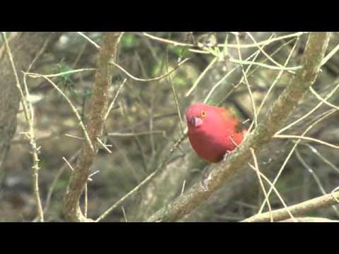 Finches, Chats, Splendid Wren, Yellow Siskin, African Fire Finches
