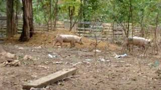 New blue butt piglets on The Pig Farm. part 1
