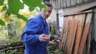 Выращивание гриба вешенки в домашних условиях.Вирощування гливи в домашніх умовах