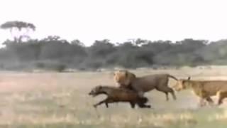 Naturaleza Salvaje - Lucha Animal : Leones vs Hienas / Wild Nature - Animal Fight : Lions vs Hyenas