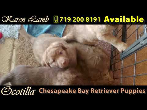 Chesapeake Bay Retriever Puppies Available - Colorado Springs, CO
