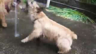 水と戯れるノーリッチテリア Norwich terrier dogs playing with water.