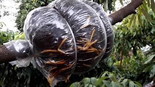 Video Cara cangkok akar banyak pohon durian download MP3, 3GP, MP4, WEBM, AVI, FLV September 2018
