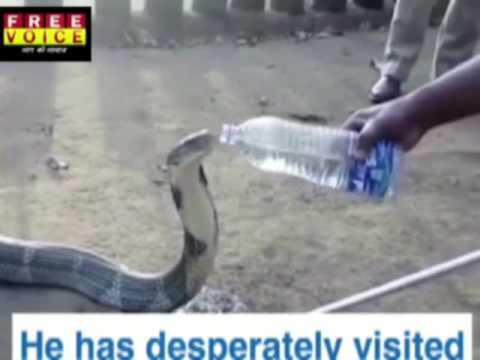 WATCH OUT: 12ft King Cobra dying of thirst has desperately visited villagers to quench its thirst