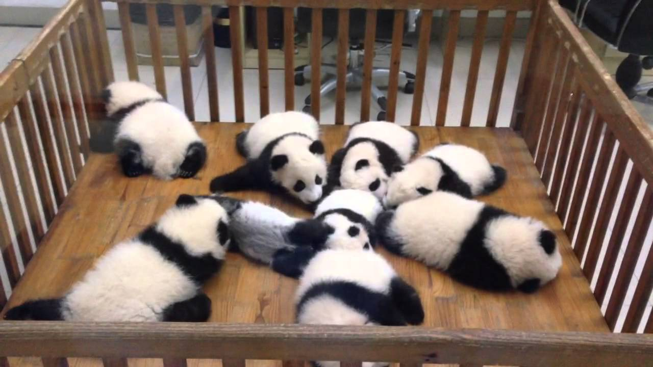 Super Cute Baby Giant Panda @ Nursery - YouTube