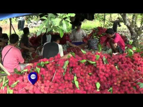 Musim Panen Rambutan Tangkue di Lebak, Banten - IMS