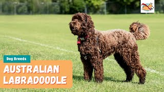 Australian Labradoodle: Your Complete Guide To The First Labrador Poodle Mix!
