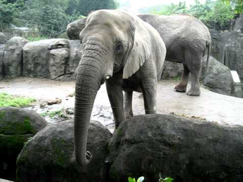 African Elephant at Taipei Zoo