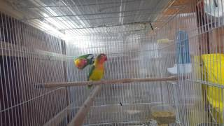 Video Green euwing fischers lovebirds. download MP3, 3GP, MP4, WEBM, AVI, FLV Maret 2018