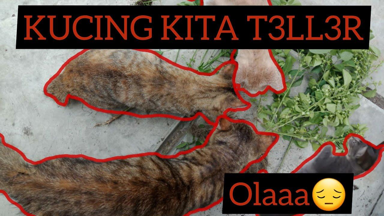 KUCING TELLER    OMAH SINGO22 KUCING   