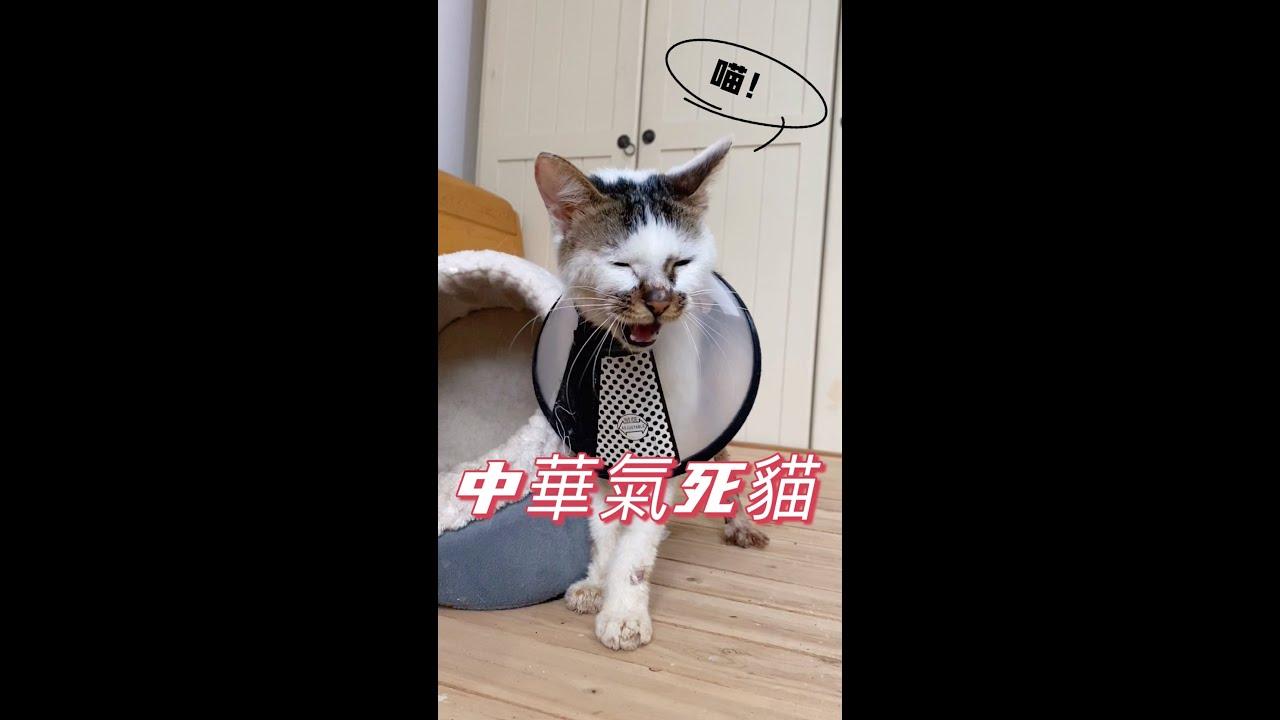 """搞威小公貓拒穿""""公主裙""""氣得說人話:不要不要啊  李喜貓"""
