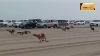 Бега собак в пустыне. Арабские забавы!!!)))