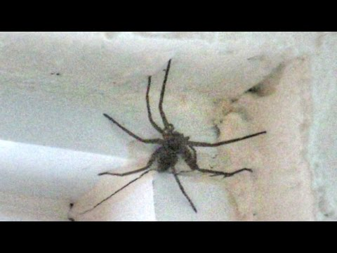 Giant Huntsman Spider In The House
