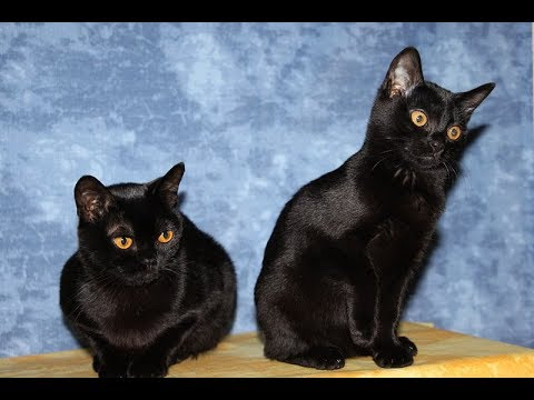 Bombay Cat |  Bombay Cat Breed | Bombay Cat Playing