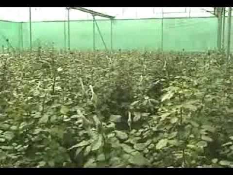 Wintek Exim Poly House Rose Farm at Hosur near Bangalore