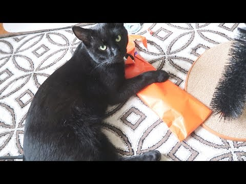 Boo Day 84 - Cat Opening His First Present - Training And Socializing A Feral Cat