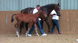 Download Video British Breeding Futurity Evaluations - Mare and Foal at Foot MP3 3GP MP4