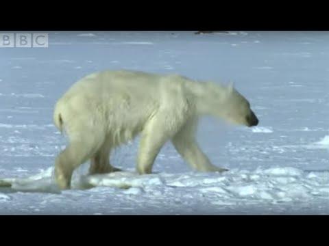 Polar Bear Hunts Beluga Whales - Blue Planet - BBC wildlife