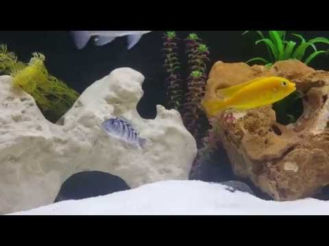 Cichlid Breeding Behaviour