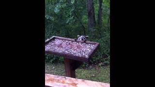 Racoon Kits At The Bird Feeder