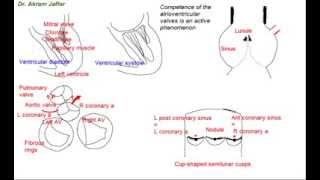 Functional anatomy of heart valves Mp3