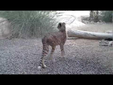 Cheetah at Arabia's Wildlife Center, Sharjah, UAE. 15.06.2012