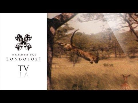 Leopard Hunts Impala From Tree - Londolozi TV