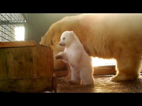 First polar bear cub born in Britain for 25 years
