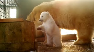 First polar bear cub born in Britain for 25 years