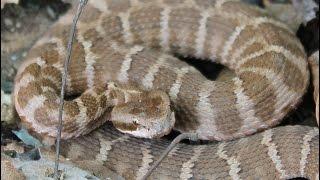 Змеи Приморского края: средний (каменистый) щитомордник Rock mamushi (Gloydius intermedius)