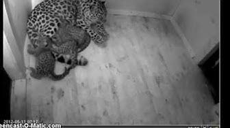 Amur leopard Darla  &  cubs   Vlada-Akra-Freya  28 days old