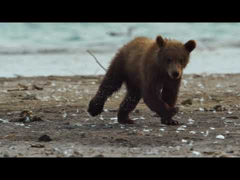 Медведи Камчатки. Начало жизни (Kamchatka Bears. Life Begins) - Film Trailer
