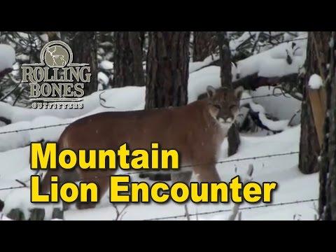 Mountain Lion Encounter - Black Hills Of South Dakota