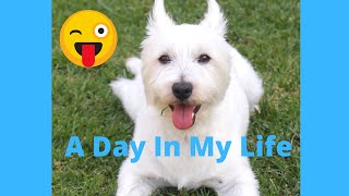 A Day In The Life of A West Highland Terrier Pup   How A Westie Behaves and Acts. Funny traits!