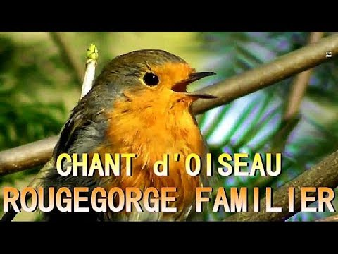 Robin which sings its melodies