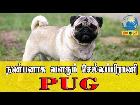 நண்பனாக வளரும் செல்லப்பிராணி PUG | review and care about pug dogs