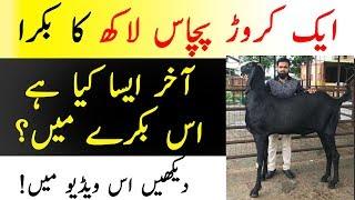 1 Caror 50 Lakh Ka Bakra | Akhir Esa Kya Hai Is Bakry Main | Most Expensive Goat On Eid