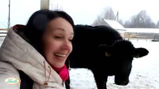Одна из самых популярных мясных пород в мире - быки крестьянского хозяйства Михаила Шруба