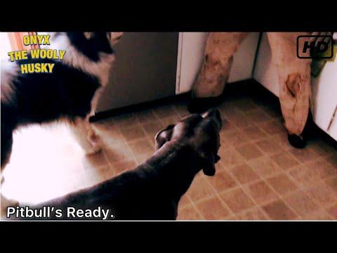 Pitbull vs intruder! Burglar prank on dog! Are Husky and Pitbull guard dogs?