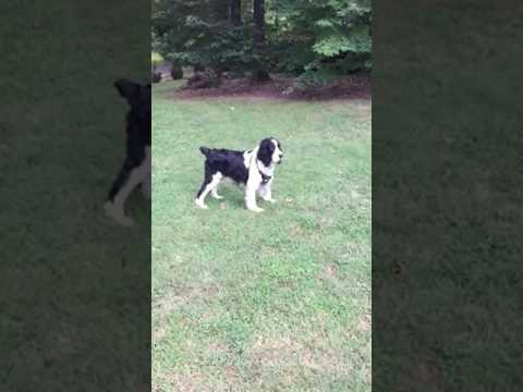 Bernie puts the spring in Springer Spaniel