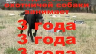 Подготовка охотничьей собаки